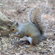 Squirrel — Stock Photo #10994832