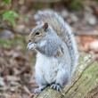 Squirrel — Stock Photo #10994861