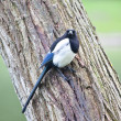Magpie — Stock Photo