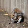 Stock Photo: Grey Squirrel