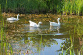 Geese swimming in a lake — Stock Photo