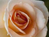 庭園のバラ — ストック写真