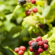 Black Rasberry — Stock Photo #11593106