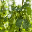 Hops — Stock Photo #11593164