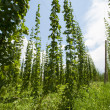 Hops — Stock Photo #11593510
