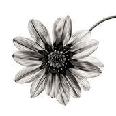 Fleur en noir et blanc sur fond blanc. — Photo