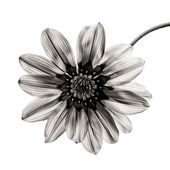 Flower in black and white on white background. — Stock Photo