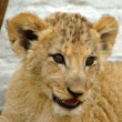Stock Photo: African lion cub