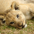 African lion cub — Stock Photo