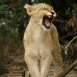 Stock Photo: Young lion yawning