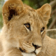 Portrait of young lion - Stockfoto