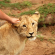Hand touching a lion — Stock Photo