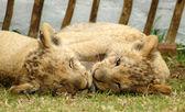 Lvíčat — Stock fotografie