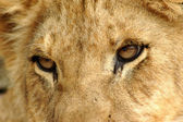 Closeup Lion eyes — Stock Photo
