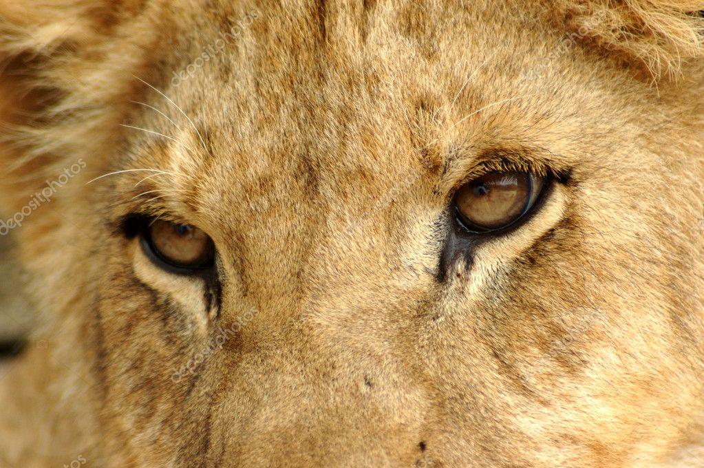 картинки глаза льва