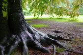 Oak tree after rain — Stock Photo