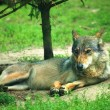 Resting wolf - Stock Photo