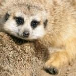 Meerkat — Stock Photo #11853759