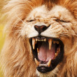 Stock Photo: Roaring lion