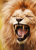 Roaring lion — Stock Photo