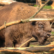 European bison feading on branches - Stock Photo