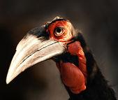 南部地面犀鸟 — 图库照片