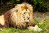 King lion — Stock Photo
