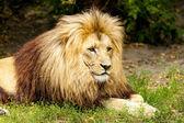 King lion — Stock Photo