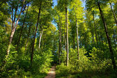 Bosque de la haya — Foto de Stock