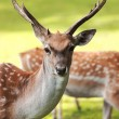 Large whitetail buck - Stock Photo