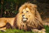 Lion the King — Stock Photo