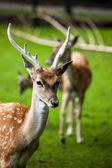 Large whitetail buck — Stock Photo