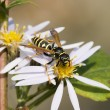 Huge wasp — Stock Photo