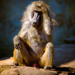 Stock Photo: Baboon in wilderness