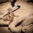 Baby baboon - Stock Photo