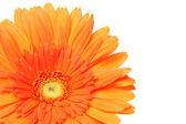 Fiore margherita — Foto Stock