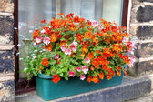 Window box with nemesia flowers. — Stock Photo