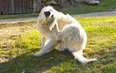 Złoty pies myśliwski pies drapie — Zdjęcie stockowe