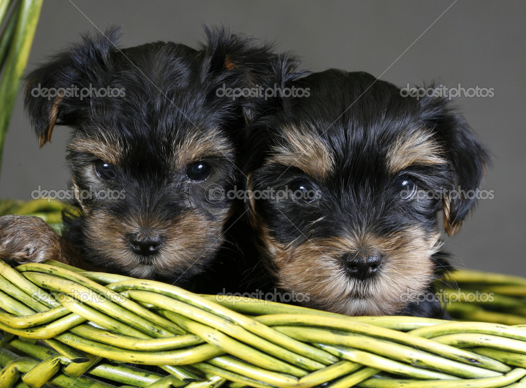 Two puppies of the yorkshire terrier in a green basket — Stock Photo #11069617