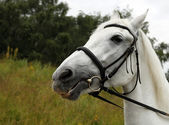 Portrait white horse — Stock Photo
