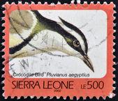 Sierra leona - alrededor de 2002: un sello impreso en sierra leona muestra pájaro de cocodrilo, pluvianus aegyptius, alrededor de 2002 — Foto de Stock