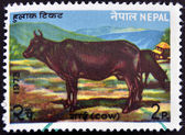 NEPAL - CIRCA 1973: A stamp printed in Nepal shows a Cow, circa 1973 — Stock Photo