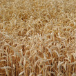 Wheat in the field ready for harvest — Stock Photo #11595546