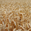 Wheat in the field ready for harvest — Stock Photo