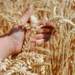 Kid hand brushes ears of wheat in the field - Stock Photo