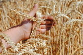 Kid hand brushes ears of wheat in the field — Stock Photo