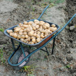 Organic potatoes into wheel barrow in garden — Stock Photo #11786808