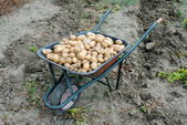Organic potatoes into a wheel barrow in the garden — Stock Photo
