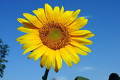 Colorful sunflower with a blue sky on background — Stock Photo