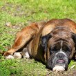 Dog on grass — Stockfoto #10904798